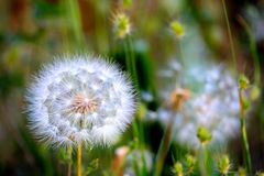 Dandelion Detail Royalty Free Stock Images