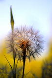 Dandelion Detail Royalty Free Stock Photos