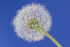 Dandelion detail Royalty Free Stock Image