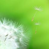 Dandelion detail. Isolated on green background Stock Image