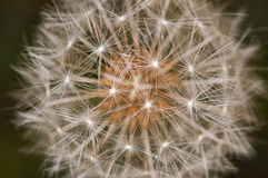Dandelion detail close up Stock Photo