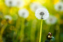 Dandelion. Detail of flower dandelion with white fluff royalty free stock photo