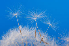 Dandelion detail Royalty Free Stock Photography