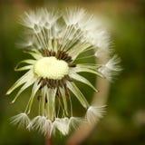 Dandelion. Detail of dandelion seed head Royalty Free Stock Photography