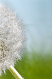 Dandelion and dew Stock Photography