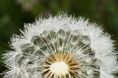 Dandelion and dew Royalty Free Stock Image