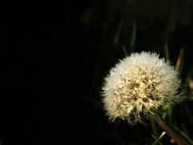 Dandelion With Dew Stock Image