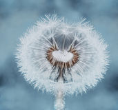 Dandelion in dew Royalty Free Stock Images