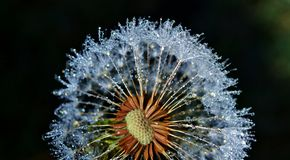 Dandelion with dew drops Stock Image