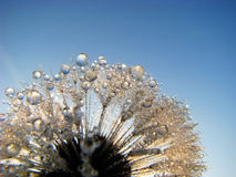 Dandelion Dew Drops. Dew Drops on dandelion against blue sky background Royalty Free Stock Photos