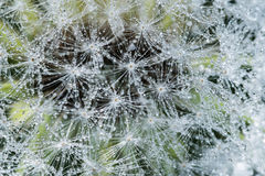 Dandelion with dew drops Royalty Free Stock Photos
