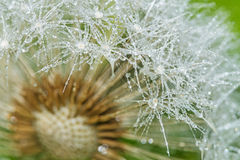 Dandelion with dew drops Royalty Free Stock Photography