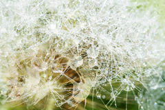 Dandelion with dew drops Stock Photos