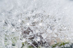 Dandelion with dew drops Stock Images