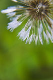 Dandelion and dew stock images