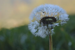 Dandelion with dew green grass royalty free stock photography