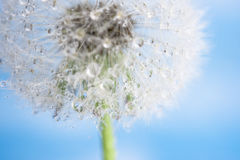 Dandelion with dew. Isolated dandelion with dew on blue sky background. Close-up of dewdrop on the head of dandelion. Purity and blooming stock images
