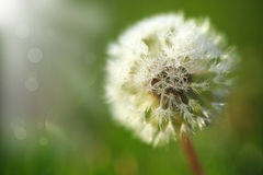 Dandelion in the dew in the sun Royalty Free Stock Photo