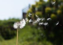 Dandelion dispersing seeds Royalty Free Stock Image