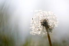Dandelion dmuchania ziarna w wiatrze przy zmierzchem Obrazy Stock