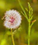 Dandelion dorośnięcie na łące Obraz Stock
