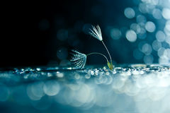 Dandelion down Stock Images