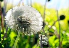 Dandelion Dreams Stock Photos