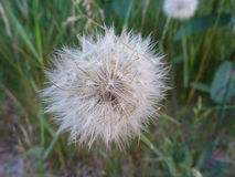 Dandelion dreams. A close-up picture of a dandelion with it`s fluffy seeds still attached, waiting for a child to pick it with a wish and give a big blow to send stock image