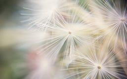 Dandelion in dreamy light Stock Photos
