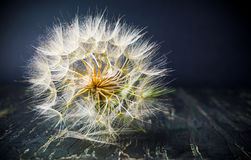 Dandelion dried had ready to fly on summer wind stock image