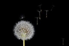 Dandelion and Drifting Seeds stock photography