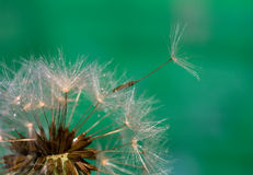 Dandelion in the drops Royalty Free Stock Image