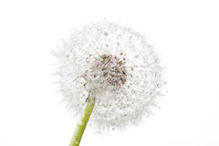 Dandelion with drops Stock Image