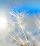 Dandelion with drops close-up Royalty Free Stock Photos