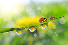 Dandelion in the drops of dew on the green grass and ladybugs. Stock Images