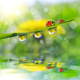 Dandelion in the drops of dew on the green grass and ladybugs. Royalty Free Stock Images