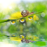 Dandelion in the drops of dew on the green grass and snail. Royalty Free Stock Photo