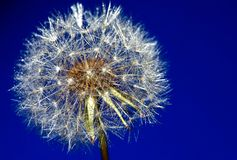 Dandelion drops flower summer. Water Royalty Free Stock Photo