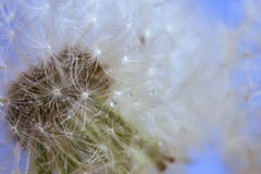 Dandelion in the drops Stock Photography