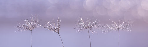 Dandelion with drops of rain or dew on a beautiful lilac background. Macro of dandelion seeds arranged in a row. Royalty Free Stock Image