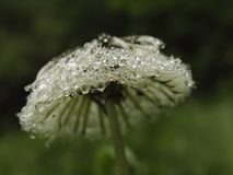 Dandelion with drops of water Royalty Free Stock Image