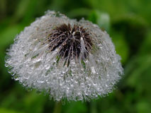 Dandelion with drops of water Royalty Free Stock Images