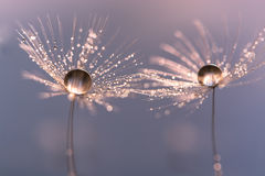 Dandelion with drops of water in a beautiful tonality. Macro of a dandelion Royalty Free Stock Images