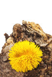 Dandelion on a dry stump Royalty Free Stock Photos