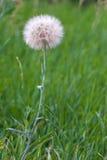 dandelion duży biel Obraz Stock