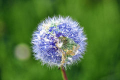 Dandelion with earth shape Royalty Free Stock Images