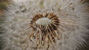 Dandelion with an empty core Stock Image