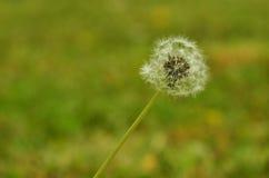 Dandelion. Entyre dandelion with grass background Stock Photography