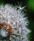 Dandelion. Ethereal flower that is a symbol of transience Stock Photos