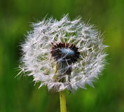 Dandelion. Ethereal flower that is a symbol of transience Royalty Free Stock Photo